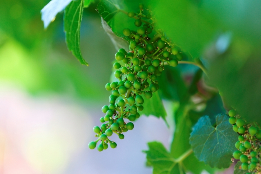 The flowering of the grapevine